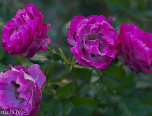Wild Blue Yonder Texas Grandiflora Rose