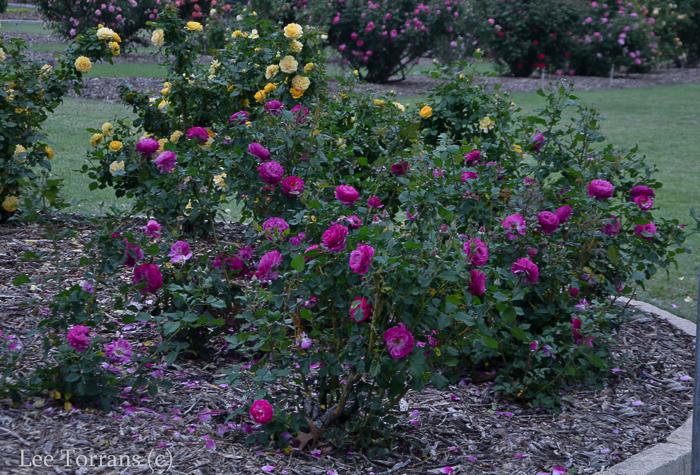 Wild_Blue_Yonder__Rose_Texas_Lee_Ann_Torrans