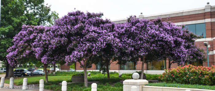 Purple Catawba Crape Myrtle