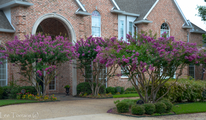 Zuni Crape Myrtle Wide vase like growth.