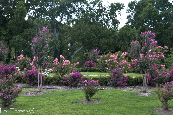 Purple Crape Myrtle Grove