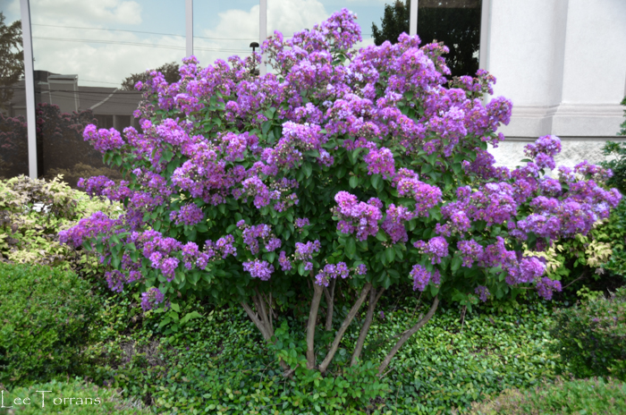 Purple Velvet Smaller than Dwarf - Miniature Crape Myrtle