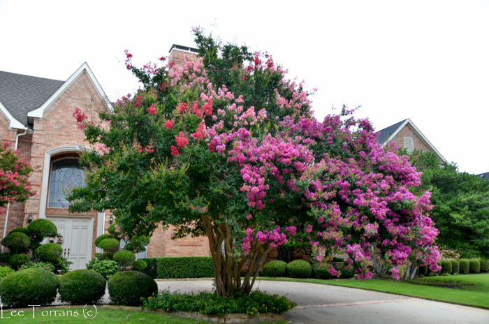 Pink and Purple Crape Myrtle Grove
