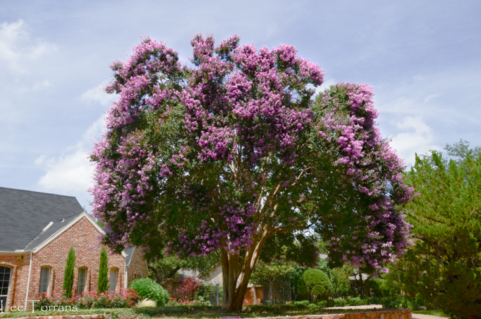Twilight Crape Myrtle - Darkest Purple Large Crape Myrtle