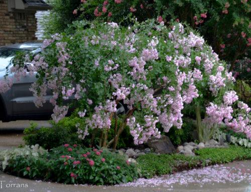 Pale Pink Crape Myrtles