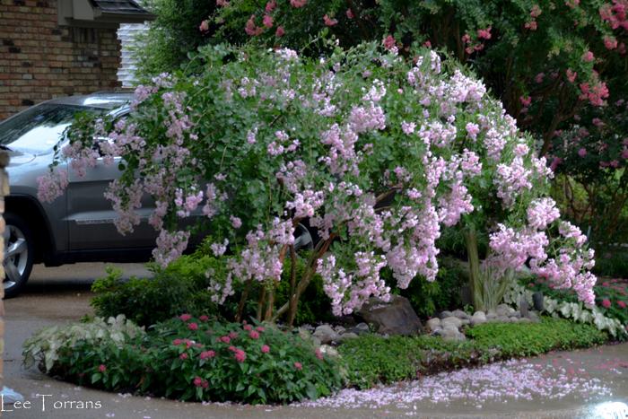 Pale Pink Crape Myrtle