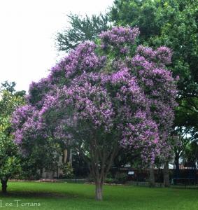 Twilight purple crape myrtle reaches over 40 feet tall.