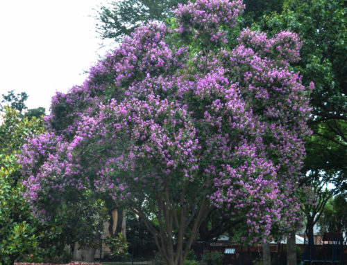 Purple Crape Myrtles