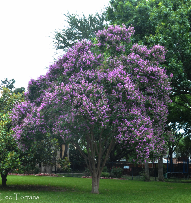 Twilight purple crape myrtle reaches over 40 feet tall.