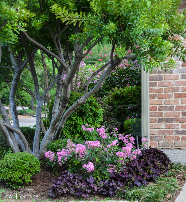 Purple Shamrock with Dwarf Pink Crape Myrtle