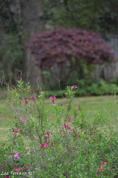 Salvia Greggii in front of Purple Barberry