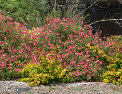 Salvia Greggii – The Workhorse of the Native Plant Garden