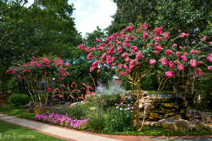 Tonto Crape Myrtle Watermelon Colored and Vaselike