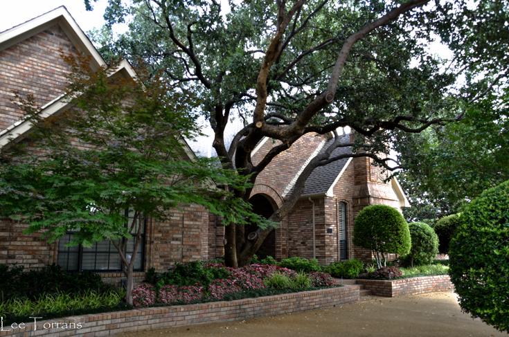 Dallas Trees Live Oak