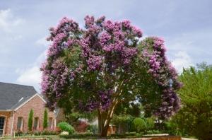 Twilight Large Purple Crape Myrtle