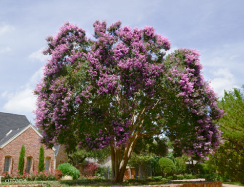 Twilight Large Deep Purple Crape Myrtle
