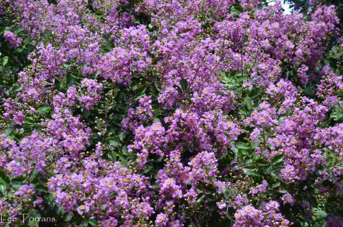 Large Purple Crape Myrtle: Twilight