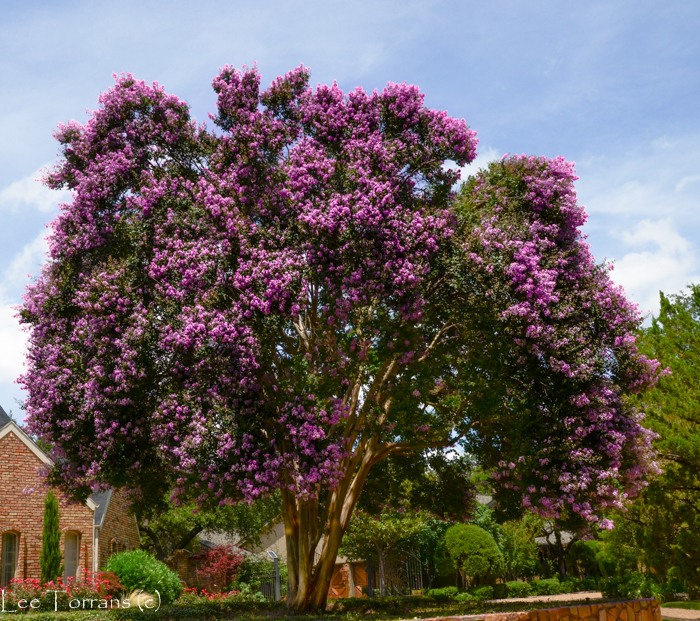 Twilight Large Purple Crape Myrtle Tree