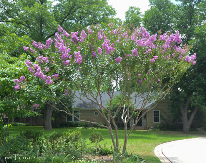 Vase_Shape_Medium_Purple_Crape_Myrtle_Lee_Ann_Torrans_Dallas_Gardening
