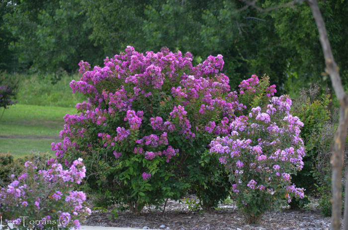Two Purple Miniature Crape Myrtles: Velma and Petite Orchid