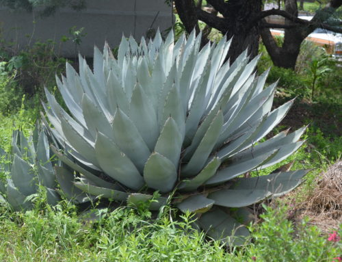 Agave Texas Native Plants