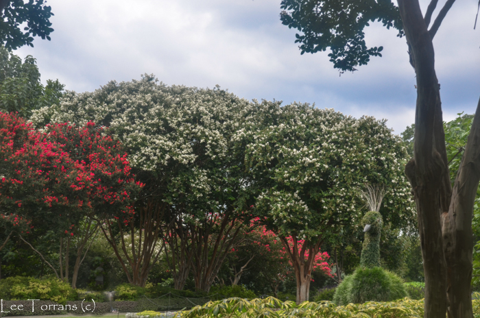 Fantasy Large White Crape Myrtle - Dallas Arboretum