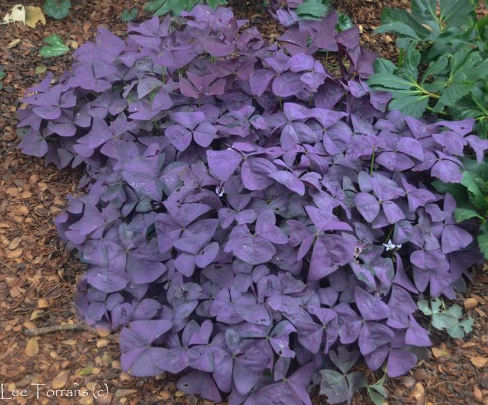 Lavender Shamrock
