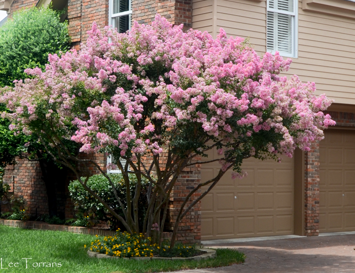 Potomac is a clear pink crape myrtle - vase like shape - reaching 15 - 20 feet tall.