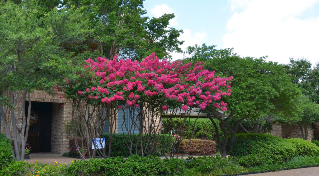 I believe this is the upright Dallas Red Crape Myrtle. Not quite sure. It does not have the drooping branching of the Arapaho. This could also be one of the Velour series of crapes which have huge colored pannicles in a variet of hues.