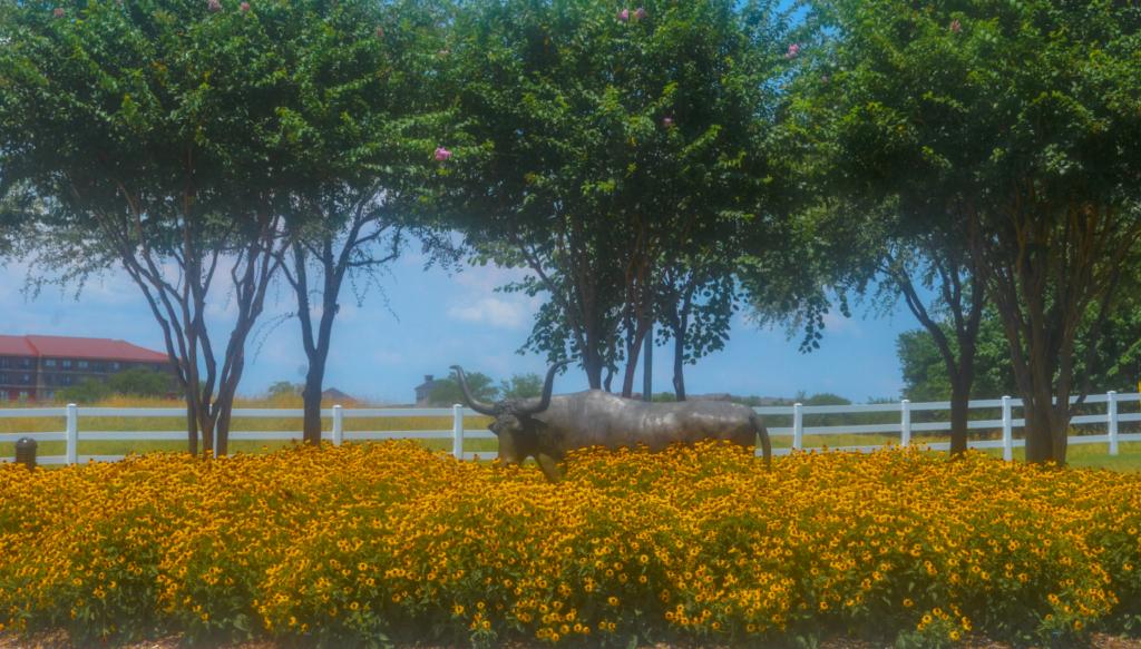 Black-eyed-susans-steers