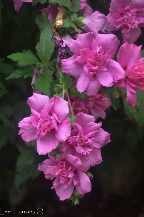 Double_Althea_Purple_Pink_Summer_Blooming_Shrub_Lee_Ann_Torrans-2