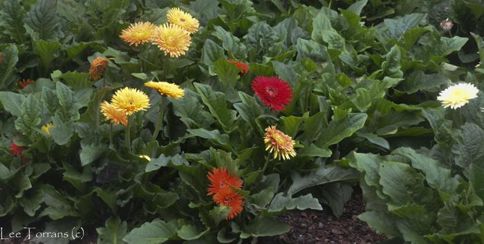 Gerbara Daisy Dallas Arboretum Trial Plant 2014 Cartwheel