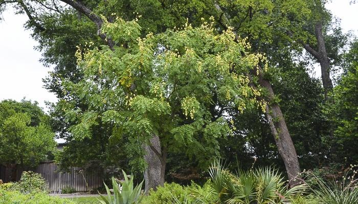 Laburnum Tree Texas