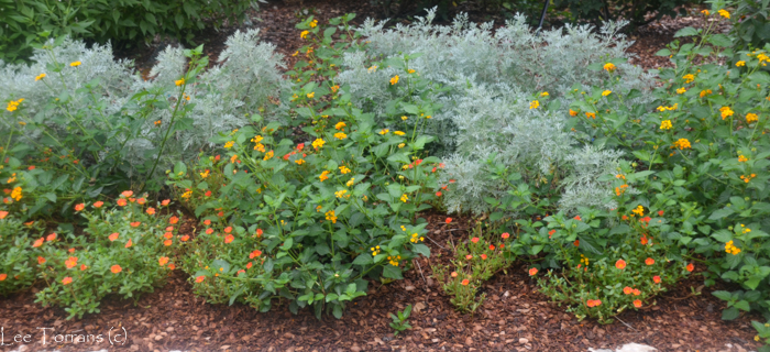 Gold Lantana with Purslane