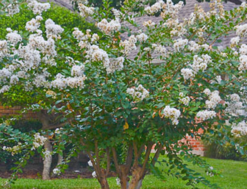 Trimming Your Crape Myrtle