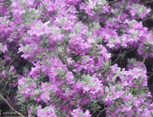 Purple Sage Shrub