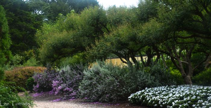 Purple_Sage_Shrub_Texas_Gardening_Lee_Ann_Torrans-3