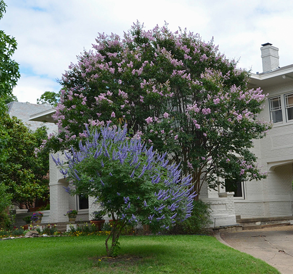Bashans Party Pink Texas A&M SuperStar Crape Myrtle with Vitex Tree