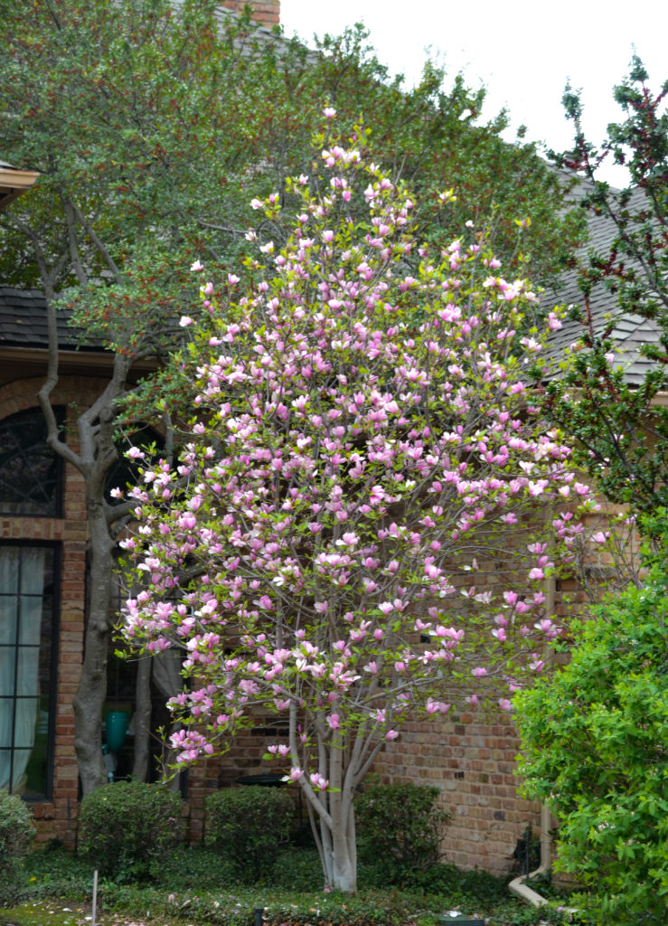 Flowering trees in texas plant now an overview lee ann torrans gardening for Tulip garden in texas
