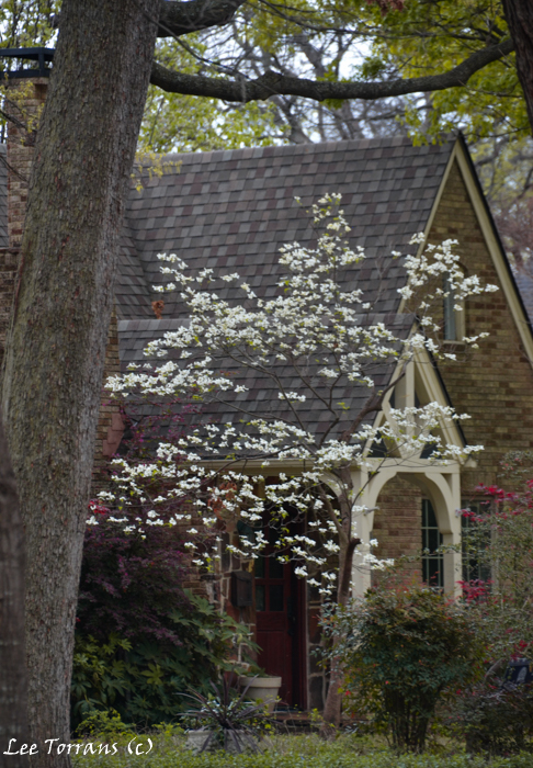 Dogwoods in Texas