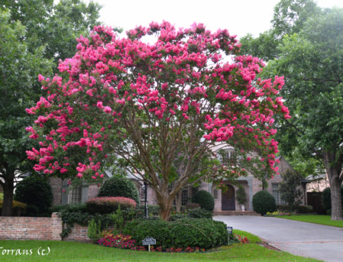 Landscaping Design with Crape Myrtles