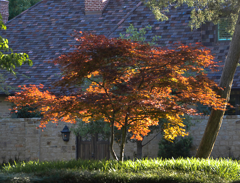 The western sun shining through Ember Glow Japanese Maple. Professional landscape designers often place broad leafed Japanese Maples to catch the evening sun. It's truly lovely.