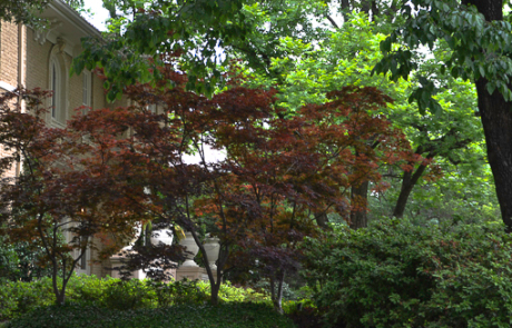 Full Moon Japanese Maples. Place Japanese Maple in groups of three is a common landscape design feature in Dallas.