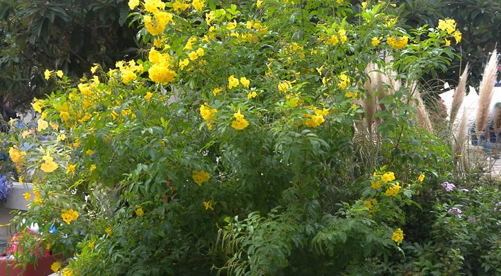 Esperenza, a yellow Texas Perennial that blooms April to June.