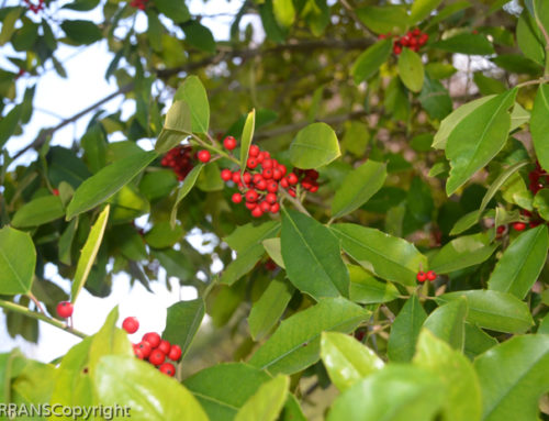 American Holly in Texas