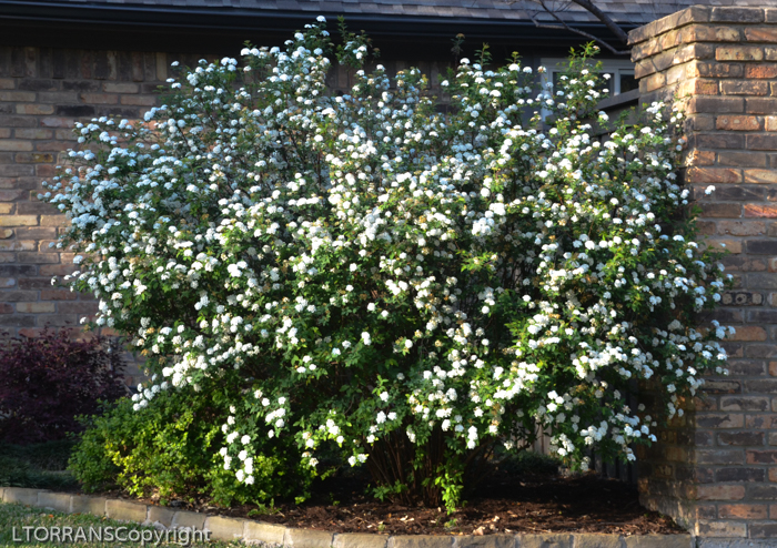 Bridal Wreath Spirea Blooms Mid-March Texas: Long branches prunded back inhibits spring beauty