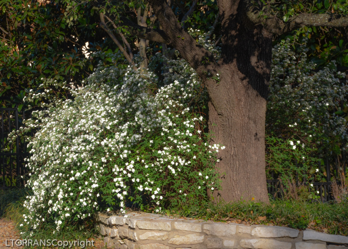 Bridal Wreath Spirea Blooms Mid-March Texas