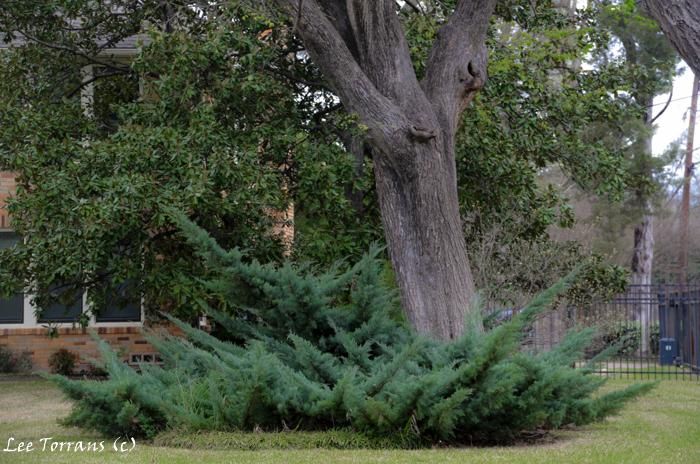 Cedars in Dallas