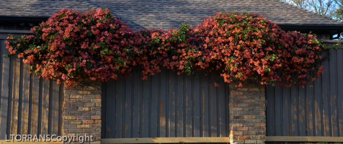 Cross Vine Spring Blooms in Texas