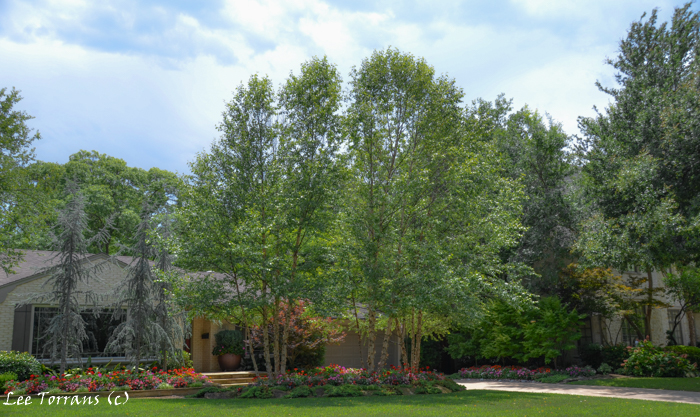 River birches and weeping cedars make a strong statement. In the background to the right are three green Japanese Maples and an Oak Leaf Hydrangea.